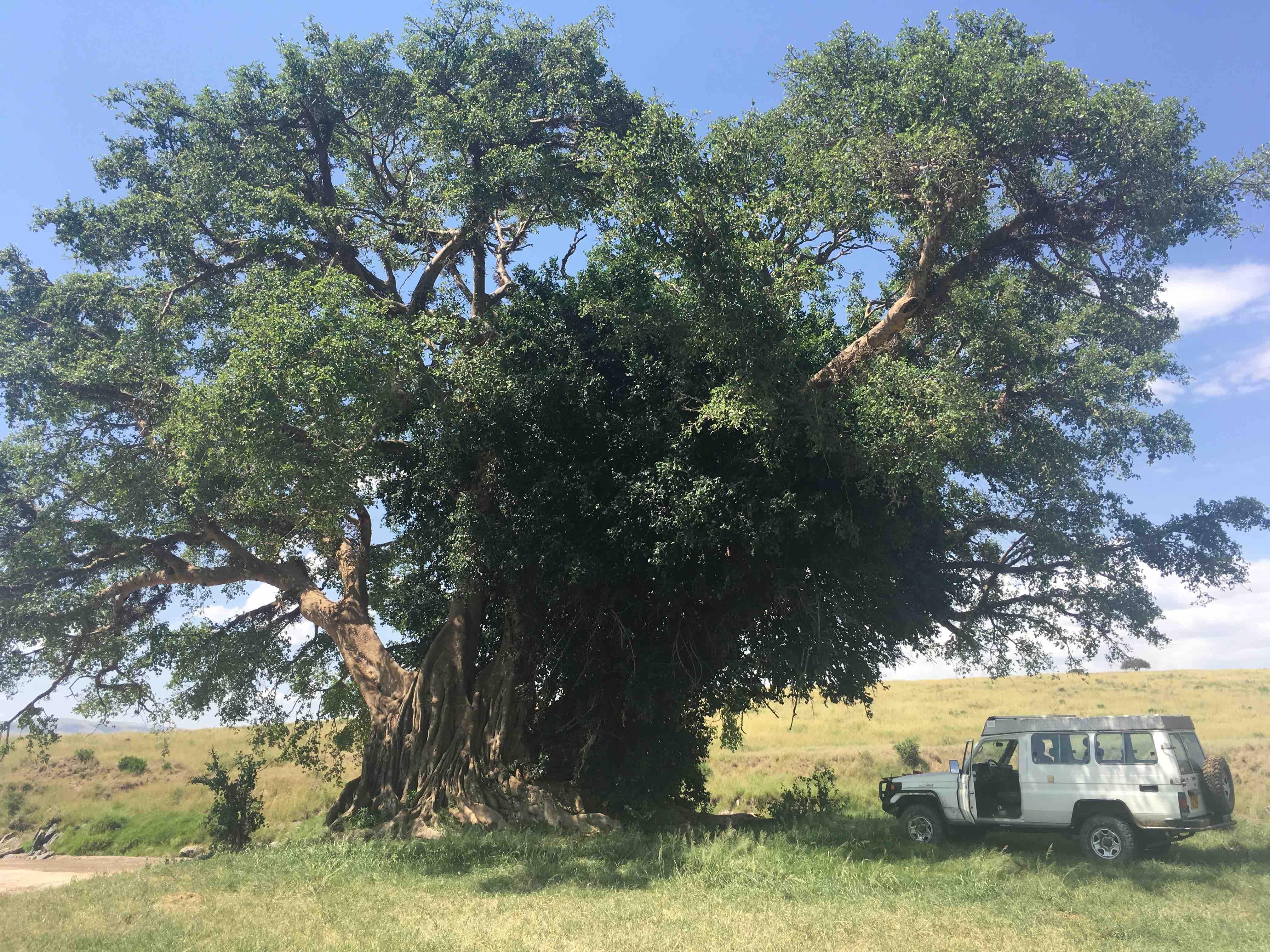 riesenbaum.jpg